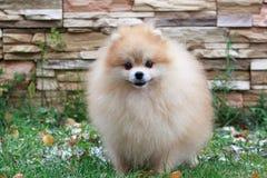 Beautiful pomeranian puppy standing near a stone wall. royalty free stock photos