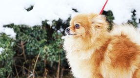 Beautiful pomeranian puppy is standing in a white snow. Pet animals. Beautiful pomeranian is standing in a white snow. Pet animals Royalty Free Stock Image