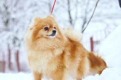 Beautiful pomeranian puppy is standing in a white snow. Pet animals. royalty free stock images