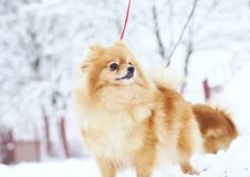 Beautiful pomeranian puppy is standing in a white snow. Pet animals. Beautiful pomeranian is standing in a white snow. Pet animals Stock Images