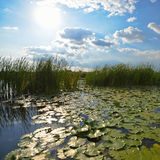 Beautiful pond at dawn. Beautiful pond with reeds and green lily pads at the morning Royalty Free Stock Photo