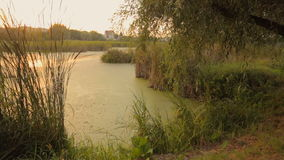 Beautiful pond overgrown with reed. Sunset reflecting in water surface. Tranquil scene. Pond overgrown with reed. Sunset reflecting in water surface. Tranquil stock video footage