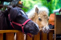 A beautiful ponies in a cage zoo Stock Photos