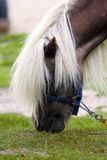 Beautiful pony grazing Royalty Free Stock Photos