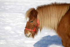 Beautiful pony horse portrait in winter meadow. Head shot of a beautiful pony horse on a beautiful sunny day winter time. Pony looking out of the winter  corral Stock Image