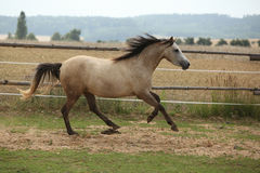 Beautiful pony moving on pasturage Stock Photo