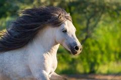 Beautiful pony run Stock Photos