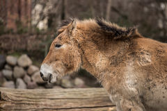 Beautiful pony at zoo in Berlin Royalty Free Stock Photography