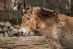 Beautiful pony at zoo in Berlin Stock Photography