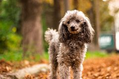 Beautiful poodle in the colorful autumn. Dog in gold park.  royalty free stock photo