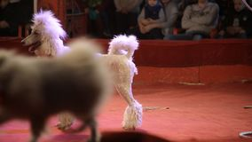 A beautiful poodle dog performs in the arena at the circus, background