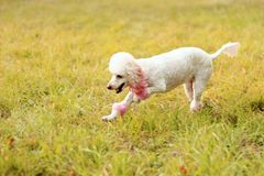 Beautiful poodle on grass background in park stock images