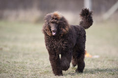 Beautiful poodle. Beautiful purebred brown poodle walking in nature Stock Photography