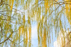 Beautiful poplar branches in the spring sky. Change of season, spring stock photography