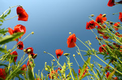 Beautiful poppies against the sky Stock Images