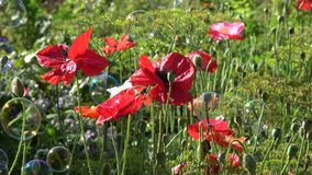 Beautiful poppies blossoms and flying soap bubbles stock video