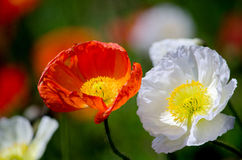 Beautiful poppies closeup Stock Photo