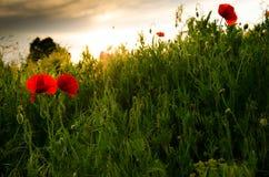 Beautiful poppies Royalty Free Stock Photo