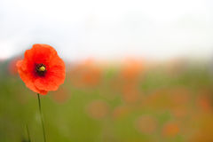 Beautiful poppies in a field Royalty Free Stock Photos