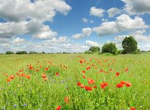 Beautiful poppies field landscape with blue sky. Beautiful field of red poppy flowers with blue cloudy sky. Ukraine flower  landscape Stock Image