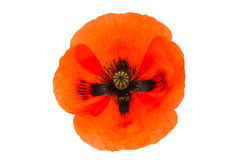 Beautiful poppies flower isolated Stock Photo