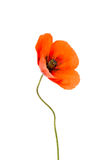 Beautiful poppies flower isolated Royalty Free Stock Photo