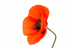 Beautiful poppies flowers isolated Stock Image