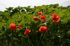 Beautiful poppies in the green field, sunnny day in countryside. Closeup of strong red poppy stock images