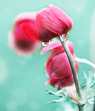 Beautiful Poppies In Rainy Day Royalty Free Stock Photo