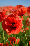 Beautiful poppies poppy close up the middle of the field in past Royalty Free Stock Photos
