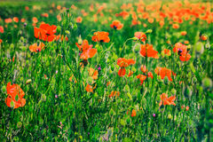 Beautiful poppies postcard background Stock Photography