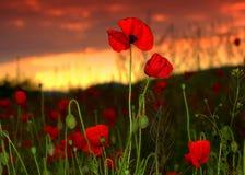 Beautiful poppies sunset Stock Photo