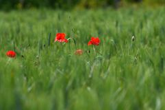 Beautiful poppies in the Tuscan countryside. Stock Photography