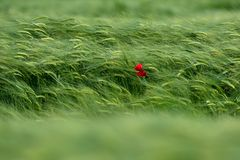 Beautiful poppies in the Tuscan countryside. Stock Photos