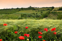 Beautiful poppies in the Tuscan countryside. Stock Images