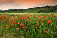 Beautiful poppies in the Tuscan countryside. Italy Stock Photography