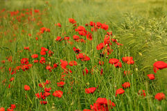 Beautiful poppies in the Tuscan countryside. Italy Royalty Free Stock Image