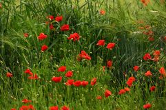 Beautiful poppies in the Tuscan countryside. Italy Stock Images