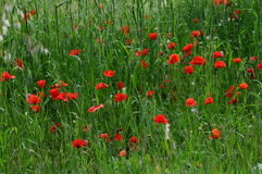 Beautiful poppies in the Tuscan countryside. Italy Royalty Free Stock Images