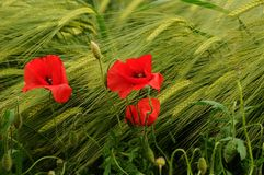 Beautiful poppies in the Tuscan countryside. Italy Royalty Free Stock Photography