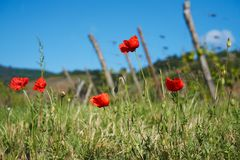 Beautiful poppies on the wine road in Alsace Royalty Free Stock Photography