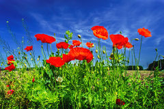 Beautiful poppies. Stock Images