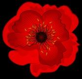 Beautiful Poppy Stock Photo