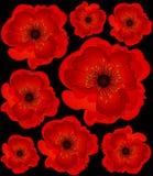 Beautiful Poppy Stock Image