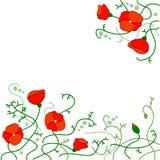 Beautiful Poppy Background Stock Image