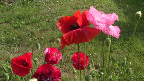 Beautiful poppy blossoms in summer garden stock footage