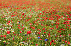 Beautiful poppy and daisies field . Royalty Free Stock Photography