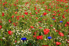 Beautiful poppy and daisies field . Royalty Free Stock Photo