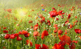 Beautiful poppy and daisies field . Royalty Free Stock Photos