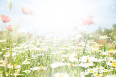 Beautiful poppy and daisy flowers sunny background Stock Image